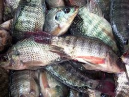 Start a Tilapia Farm
