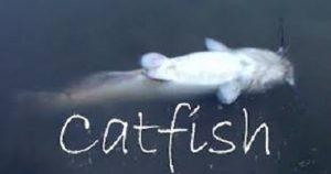Diseases and Infection in Catfish