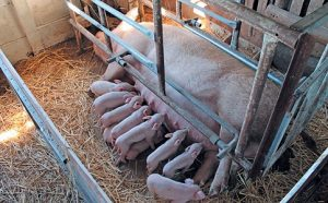 sow-and-piglets