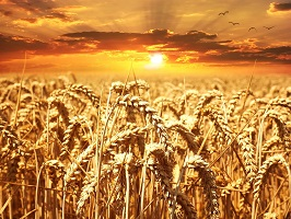 wheat farming