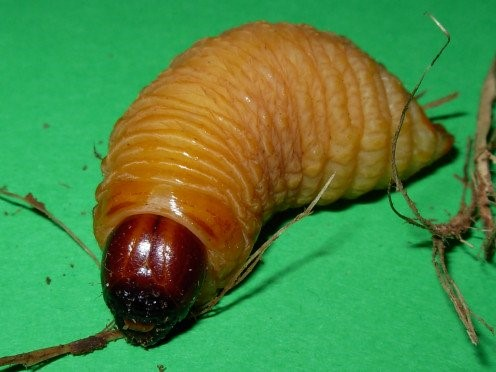 Picture of red Weevil larva